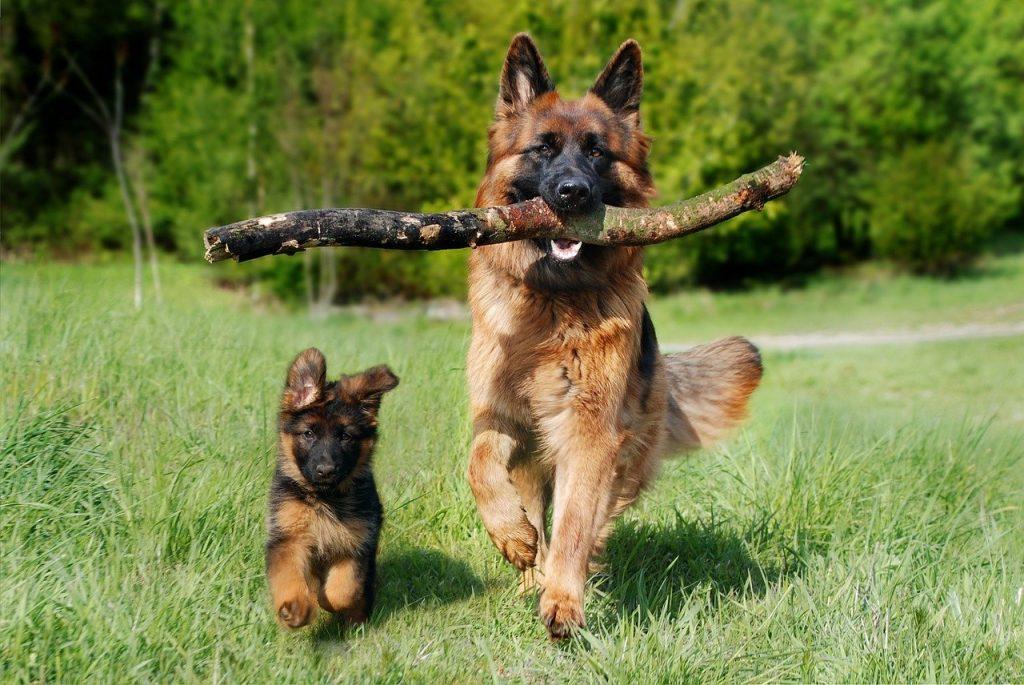 Shepherd dog & Puppy